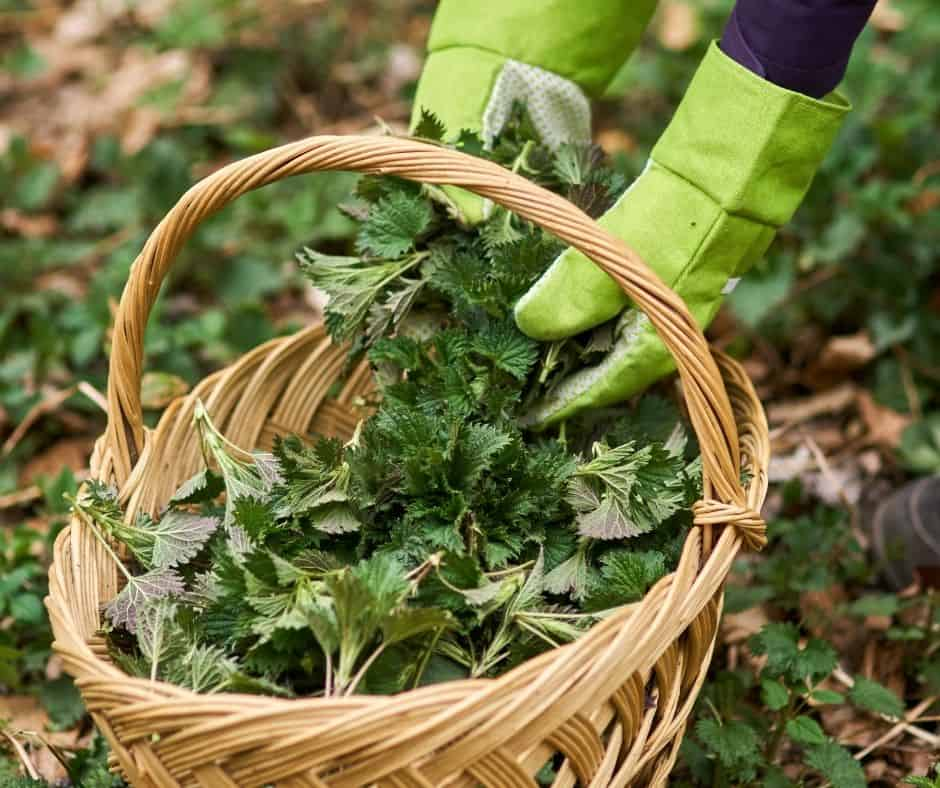 Harvesting stinging nettles can be tricky- I'll be honest! I use dried nettles in my biscuits!